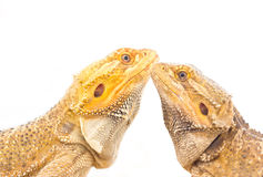 Bearded Dragon. Royalty Free Stock Images