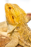 Bearded Dragon. Royalty Free Stock Photo
