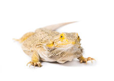 Bearded Dragon. Close up picture of a bearded Dragon royalty free stock photos