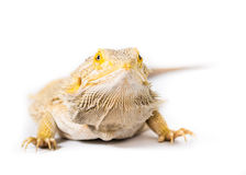 Bearded Dragon. Close up picture of a bearded Dragon stock photography