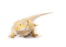 Bearded Dragon. Close up picture of a bearded Dragon stock image