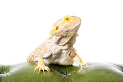 Bearded Dragon. Close up picture of a bearded Dragon stock photos