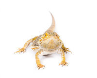 Bearded Dragon. Close up picture of a yellow bearded dragon stock images