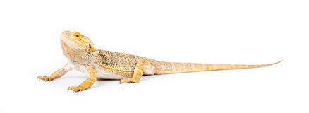 Bearded Dragon. Close up picture of a yellow bearded dragon royalty free stock photography
