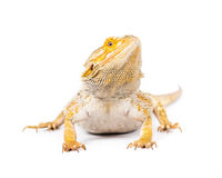 Bearded Dragon. Close up picture of a yellow bearded dragon stock image