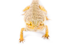 Bearded Dragon. Close up picture of a yellow bearded dragon royalty free stock photo