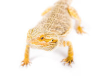 Bearded Dragon. Close up picture of a yellow bearded dragon stock photo