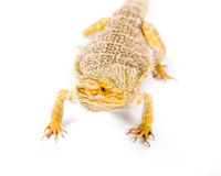 Bearded Dragon. Close up picture of a yellow bearded dragon royalty free stock image