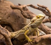 Bearded dragon close up. Profile royalty free stock photos