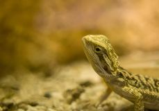 Bearded dragon close up, shallow dof.Several species of this gen stock image