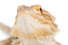 Bearded Dragon Closeup Royalty Free Stock Photography