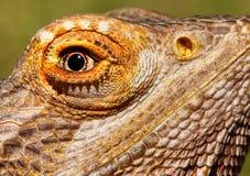 Bearded Dragon Closeup Royalty Free Stock Photo
