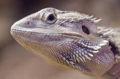 Bearded dragon  closeup ful head Stock Photography