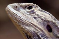 Bearded dragon closeup head watching up Stock Photo