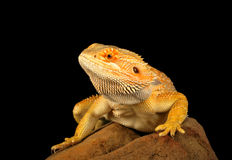 Bearded Dragon. Closeup of a Bearded Dragon (Pogona vitticeps royalty free stock photo