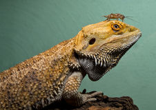 Bearded dragon with cricket buddy Stock Photography