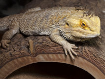 Bearded dragon with cricket buddy. Bearded dragon on log with green stucko background and cricket Royalty Free Stock Images
