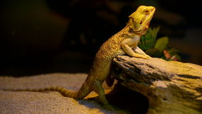 Bearded dragon. A cute bearded dragon showing his best side in its cage stock footage