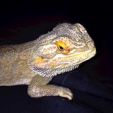 Bearded Dragon on Dark Background Stock Photography