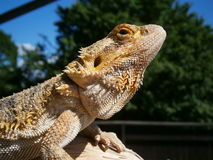 Bearded Dragon. Detailed look at the bearded head agamy Royalty Free Stock Photo