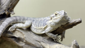 Bearded Dragon. Details of a bearded dragon in captivity in a vivarium Royalty Free Stock Photos