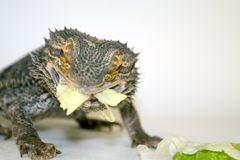 Bearded Dragon Eating Lettuce Stock Images