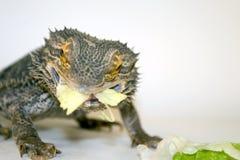 Bearded Dragon Eating Lettuce. Adult Australian Inland Bearded Dragon eating some lettuce stock images