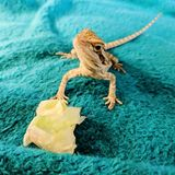 Bearded dragon eating lettuce. Cute royalty free stock image