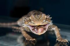 Bearded Dragon Eating. Macro shot of Pogona Vitticeps eating a cricket mid bite stock photography