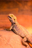 Bearded Dragon. Exotic bearded dragon standing on a rock - Scientific name: Pogona vitticeps Royalty Free Stock Photos