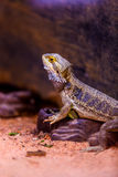 Bearded Dragon. Exotic bearded dragon standing on a rock - Scientific name: Pogona vitticeps Stock Photo