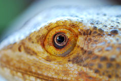 Bearded Dragon Eye Stock Photos