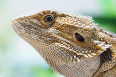 Bearded dragon face. Bearded dragon inside a vivarium photographed in landscape Royalty Free Stock Photos