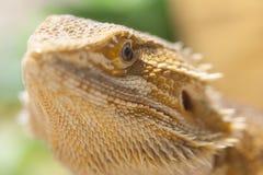 Bearded dragon face Stock Photos