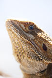 Bearded dragon face. Bearded dragon inside a vivarium photographed in portrait Royalty Free Stock Photo