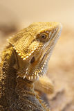 Bearded dragon face Royalty Free Stock Images