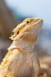 Bearded dragon face Stock Photos