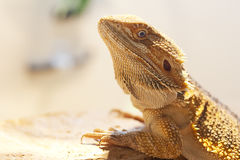 Bearded dragon face Royalty Free Stock Image