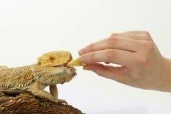 Bearded dragon feeding. Isolated on white Stock Photo