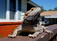 Bearded dragon on fence Stock Image