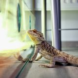 Bearded dragon Royalty Free Stock Photo