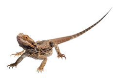 Bearded Dragon Full body Royalty Free Stock Image