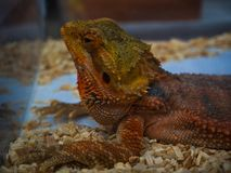 Bearded dragon in the glass box. Stock Photo