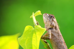 Bearded Dragon on green leaf Royalty Free Stock Image
