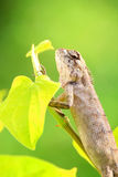 Bearded Dragon on green leaf Royalty Free Stock Photo