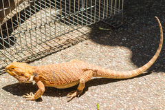 Bearded dragon on The Ground Royalty Free Stock Photo