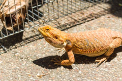 Bearded dragon on The Ground Stock Image