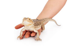 Bearded Dragon in Hand Stock Images