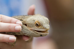 Bearded dragon in the hand Royalty Free Stock Photos