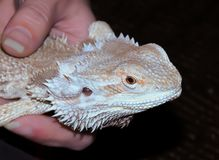 Bearded Dragon in hand stock photography
